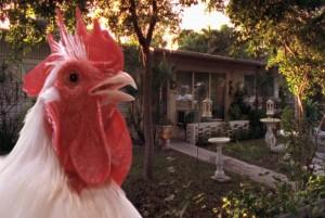 naturalhistorychicken1