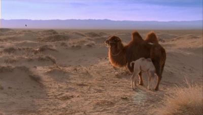 weeping camel 2