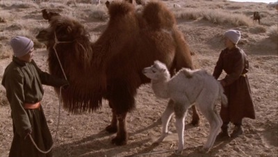 weeping camel 3
